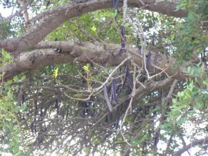 Affenbrotbaum an der Algarve